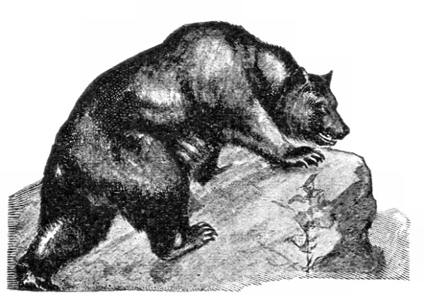 13322-vintage-illustration-of-a-grizzly-bear-pv